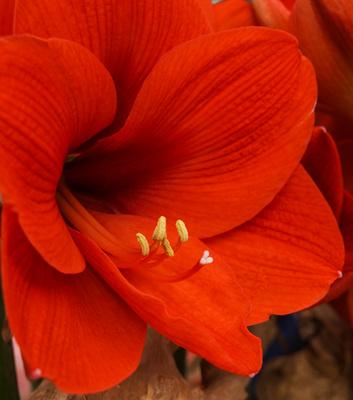 Lilienblüte knackig rot