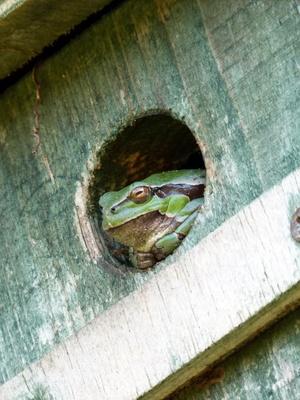 Frosch im Meisenkasten