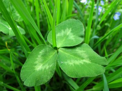 Kleeblatt im Gras