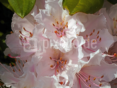 Rhododendron in voller Blüte