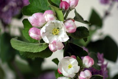 Apfelblüte2013