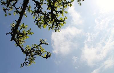Apfelbaum in Birnfeld 01