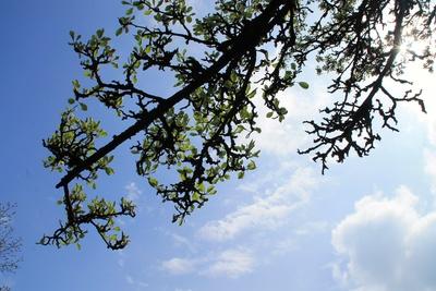 Apfelbaum in Birnfeld 02
