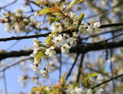 Birnfelds Apfelblüten 01