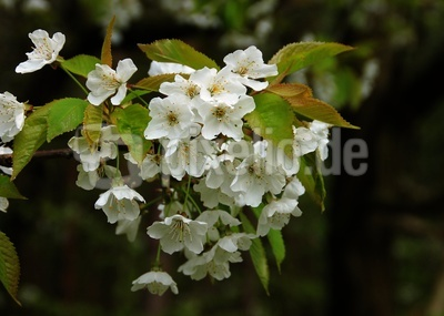 Birnfelds Apfelblüten 02