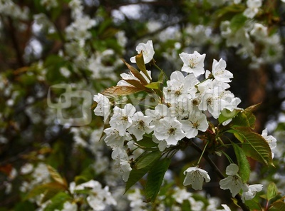 Birnfelds Apfelblüten 03