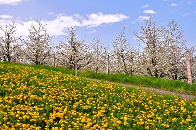 Gelbes Feld vor Kirschblüte