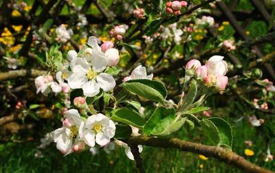 Unterfrankens Blütenpracht 06