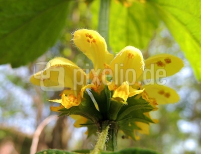 Goldnesselblüte