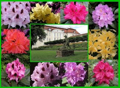 Köpenick, Rhododendron-Blüte