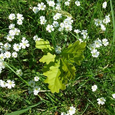 Junge Eiche inmitten von Blumen