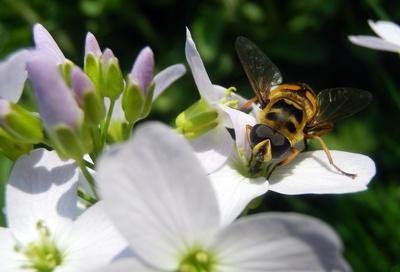 Keine Biene auf Wiesenschaumkraut