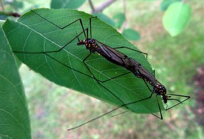 Insekten auf dem Blatt meiner Felsenbirne...