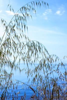 Gräser im Sommerwind