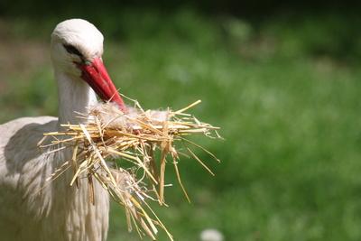 Meister beim Nestbau