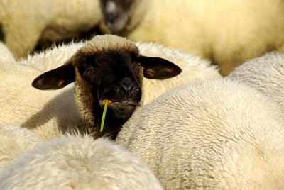 ...nur ein Schaf....