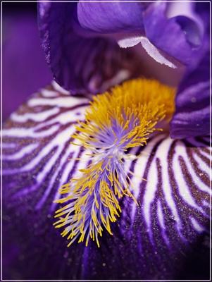 Iris Staubgefäße