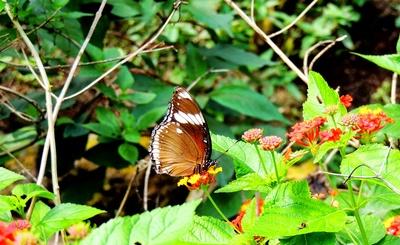 Kleiner Monarch (Danaus chrysippus)