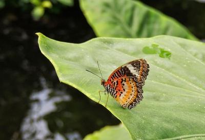 Cethosia biblis, Spitzenflügel