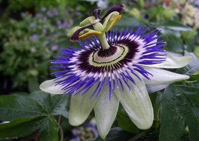 Passionsblume , Passiflora