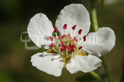 Birnenblüte