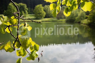 Pappelblätter am See