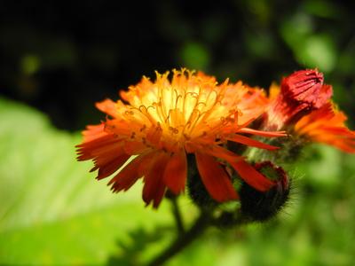 Orange Schönheit