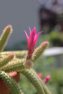 Schlangenkaktus Blüte