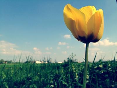 Tulpe auf der Wiese