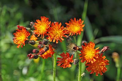 Leuchtende Feldblumen: Habichtskraut
