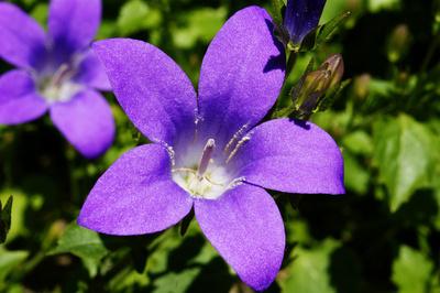 Violetter Samt