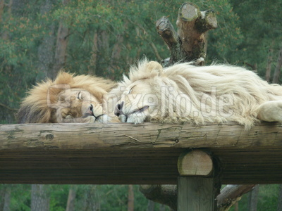 Löwen schlafen