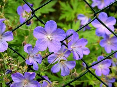 Maschendraht-Blüte