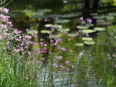 Zarte Blüten am Teich