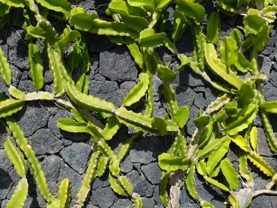 Kaktus vor Lava