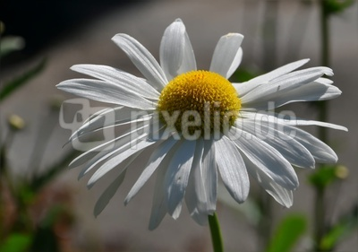 Margerite , beliebte Wiesenblume