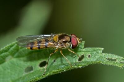 Gebänderte Buchenschwebfliege (2)