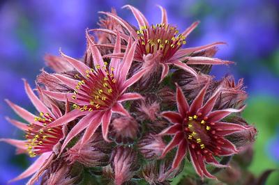 Hauswurz-Blüten