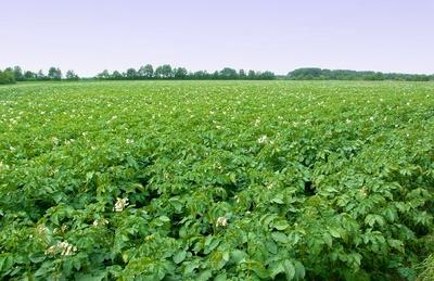 Kartoffelfeld