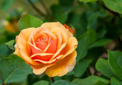 Zarte gelbe Rosenschönheit