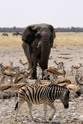 wild elefant mountain zebra etosha_florian sturm
