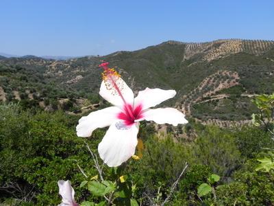 Hibiskusblüte auf Kreta