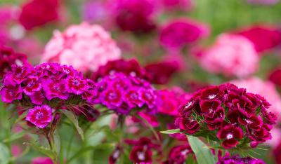 Rot-lila Blütenmeer