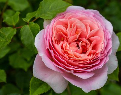 Rosenblüte lila aufbeglüht
