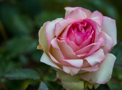 Rosenblüte lila fast aufbeglüht