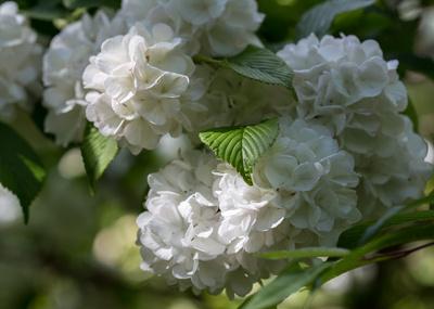 Schneeball-Blüte im Grünen
