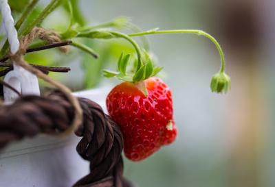 reife Erdbeere im Gewächshaus