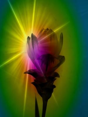 Thailand Tulpe