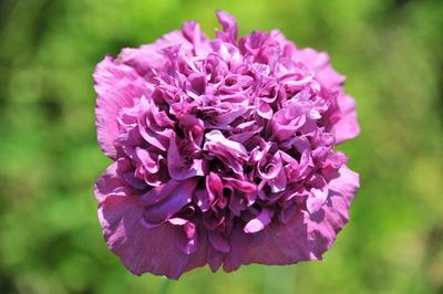 gefüllter lila Mohn - Papaver paeoniflorum