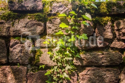 Burgmauer mit Efeu 2